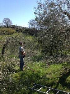 Pruning the olives web